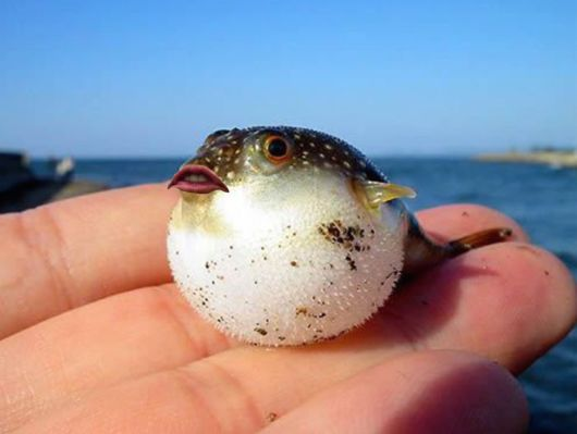 Funniest Hobby - Putting Donald Trump's Mouth On Pufferfish