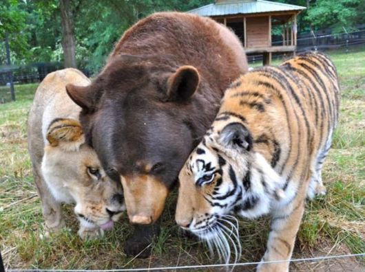 This Lion, Tiger and Bear Are the Best of Friends
