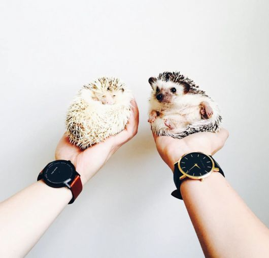 Adorable Pictures Only For Hedgehog Lovers