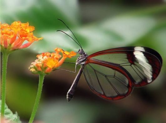 Beautiful Glasswinged Transparent Butterfly