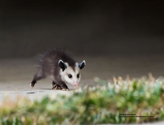 Cute Possums And Opossums